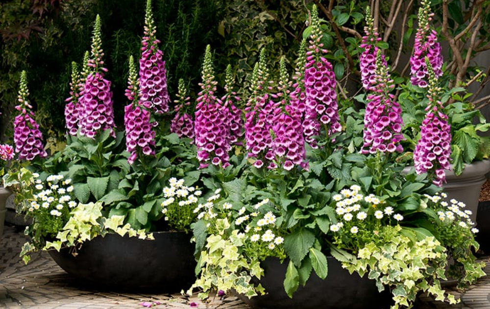 Pink foxgloves in three black pots