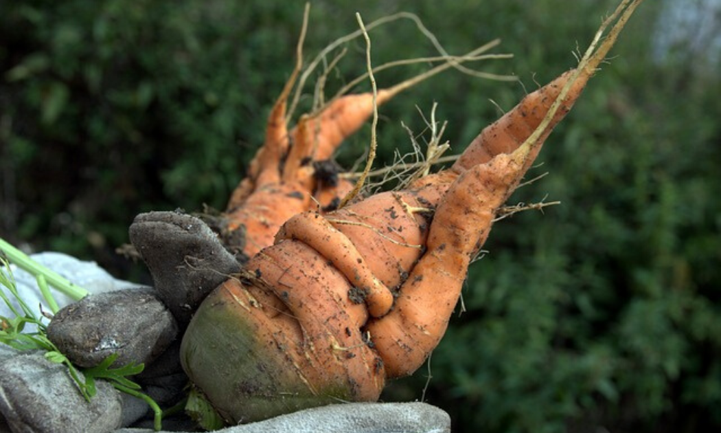 Newly harvested deformed carrots.