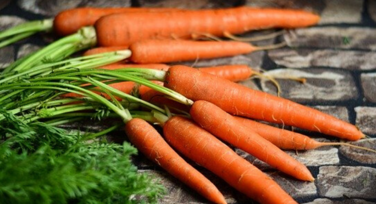 Newly harvested straight healthy carrots.