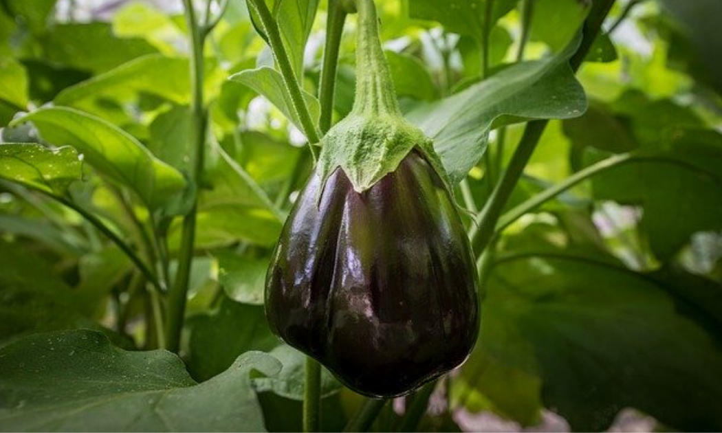 Fruit of Aubergine eggplant.