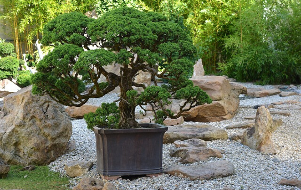 A bonsai plant in a wood container pot.