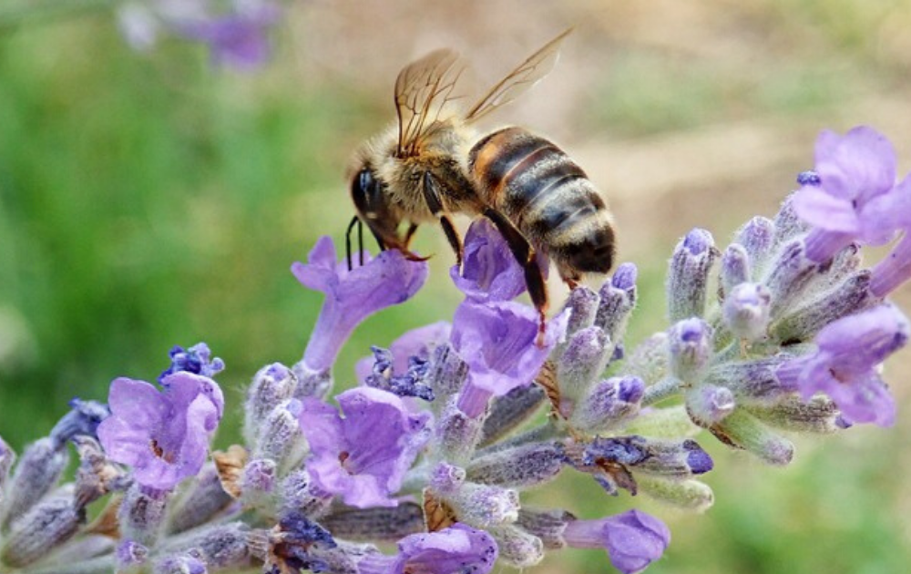 A honey bee pollinating lavender flowers.