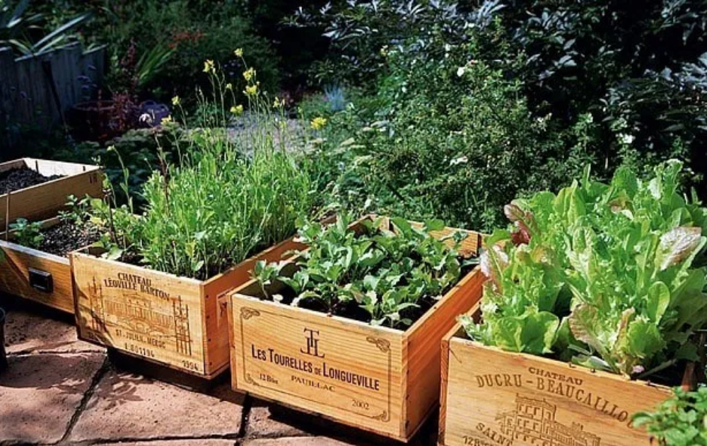 Herbs and vegetables in wooden raised bed gardens.