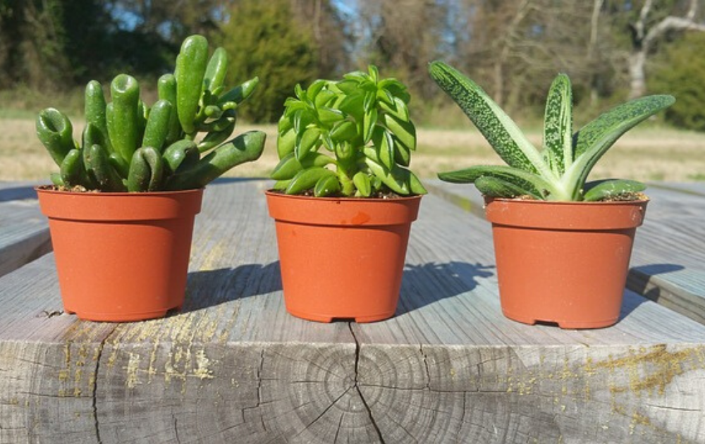 Three pieces of succulents each planted in plastic containers.