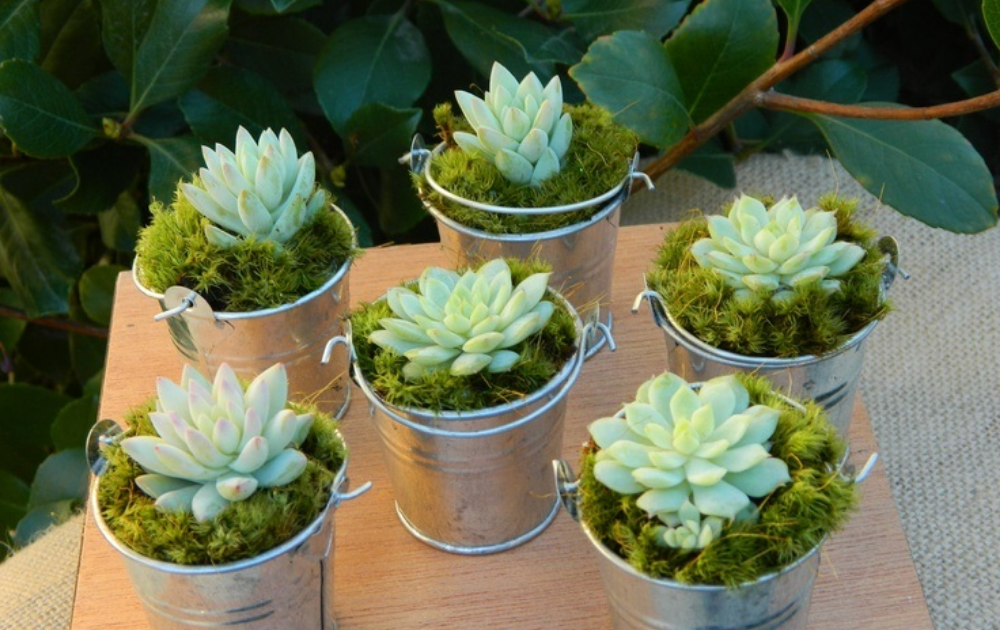 Six pieces of succulents each planted in a tin container.