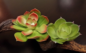 Two petioles of echeveria growing in driftwood.