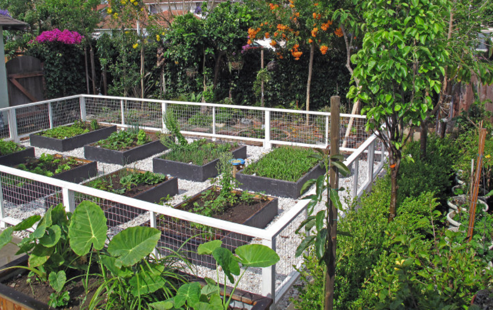 Eight wooden raised beds inside the fence.