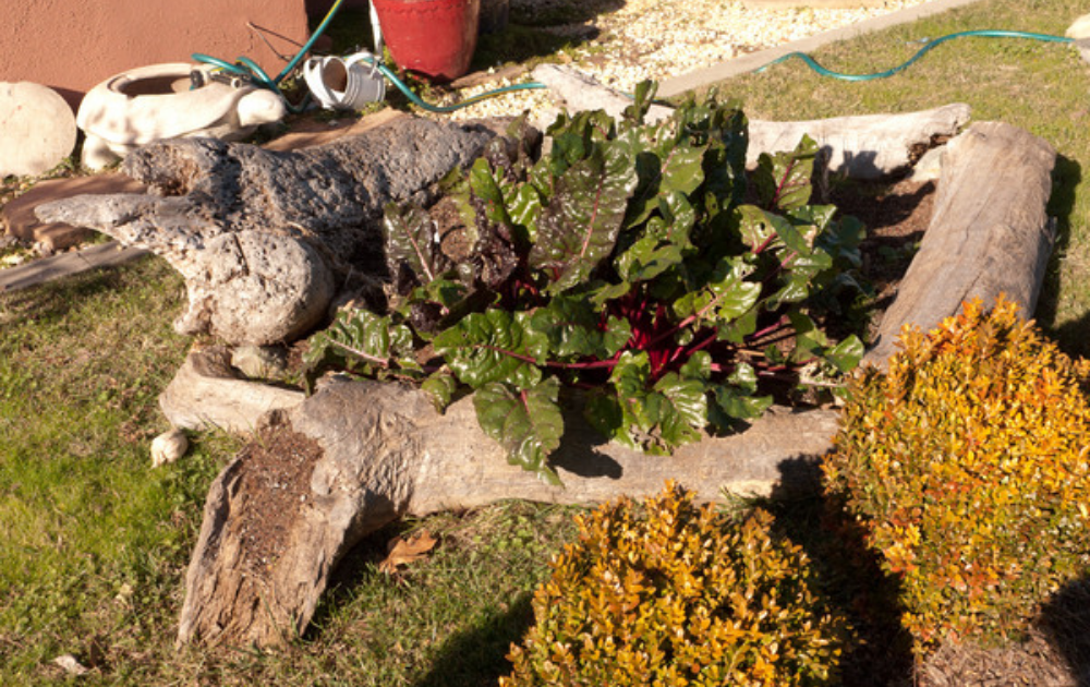 Driftwood raised bed with growing rhubarb.