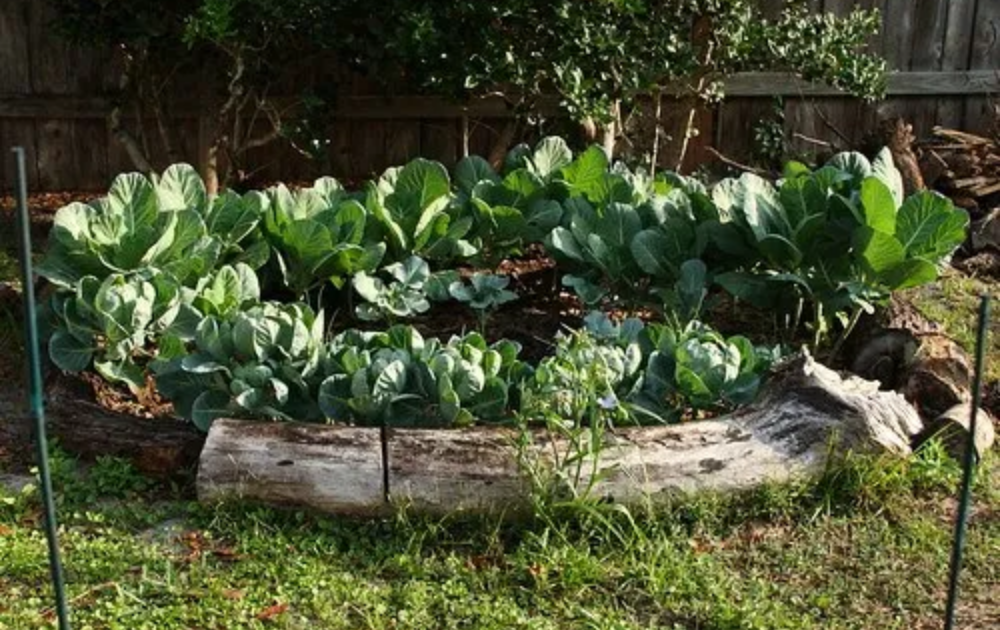 Driftwood raised bed with growing cabbage.