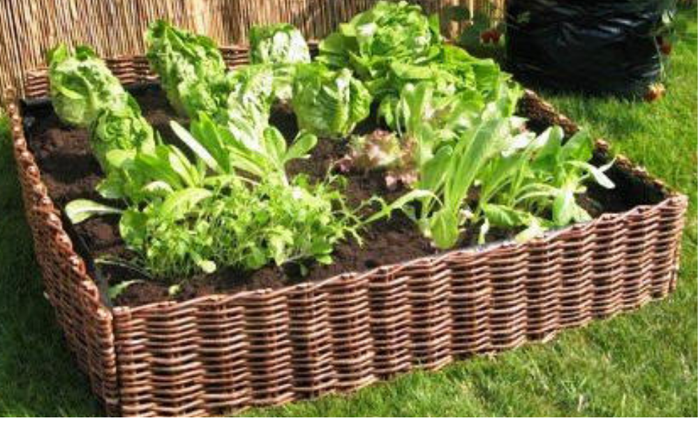 One square shape wattles raised bed with growing lettuce.