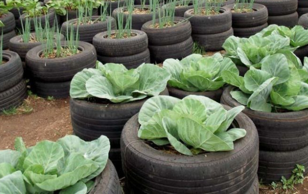 Vertical lines of tire planters with growing vegetables.