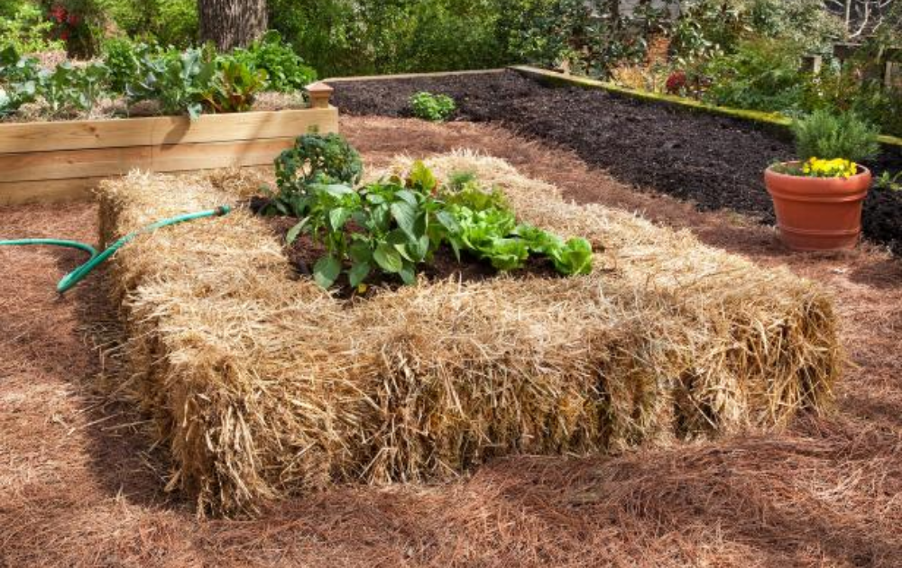 Straw bale raised bed with growing vegetables at the center.