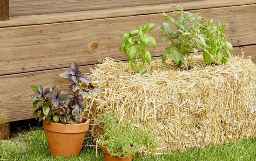 Small straw bale raised bed with growing basil and two ceramic planters beside it.