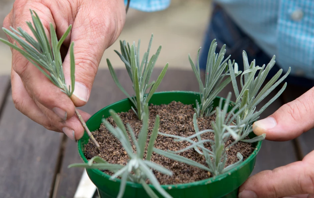 Planting lavender cuttings in a green container pot