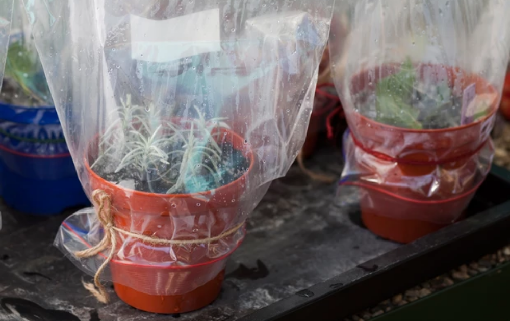 Rooting lavender cuttings with plastic cover in terracotta pots.