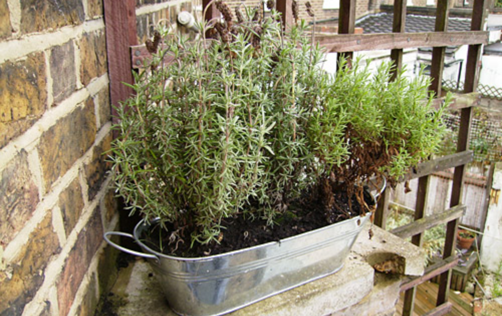 Lavender plant growing in a galvanized steel container pot.