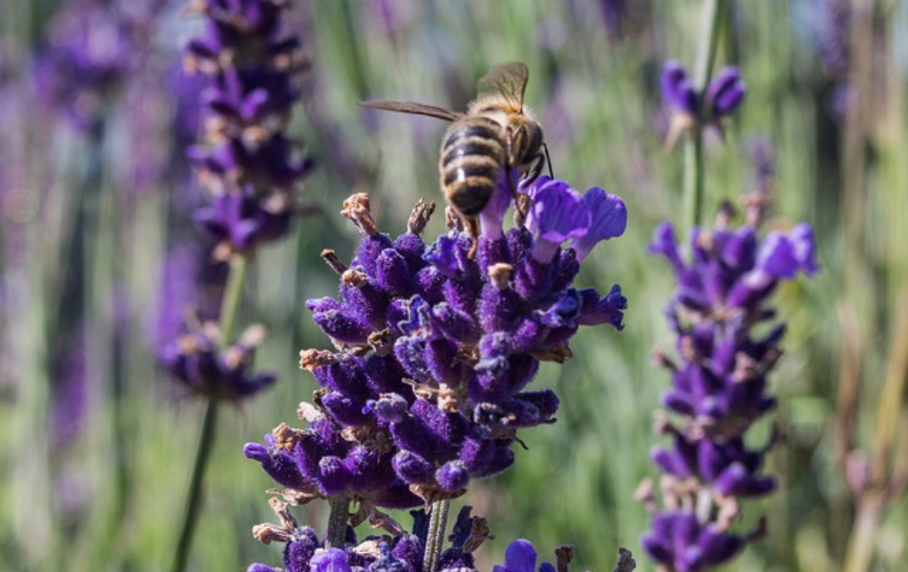 English lavender with a bee at the top of the flowers