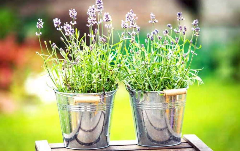 Two galvanized steel container plants with lavender plants