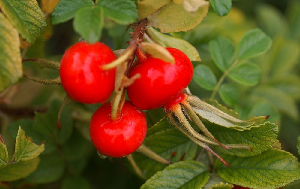 Three rose-hips.