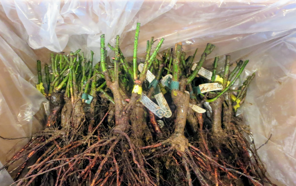 A bunch of rose bare roots.