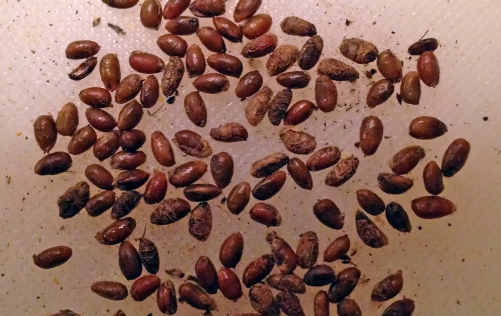 Rose seeds in a paper towel