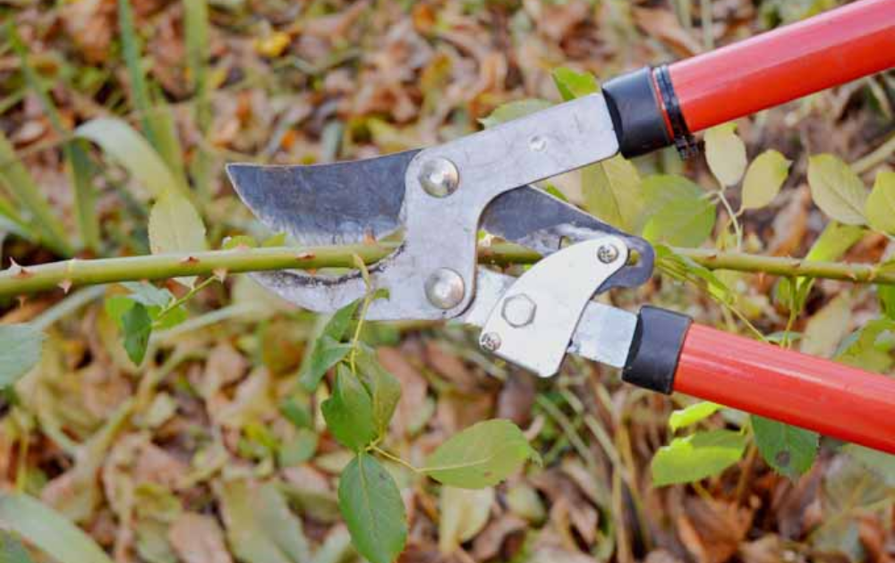 Pruning shears cutting a branch of a rose.