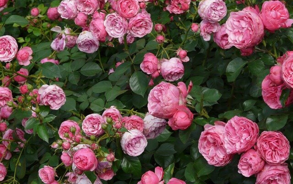 Climbing roses with pink flowers in full bloom.