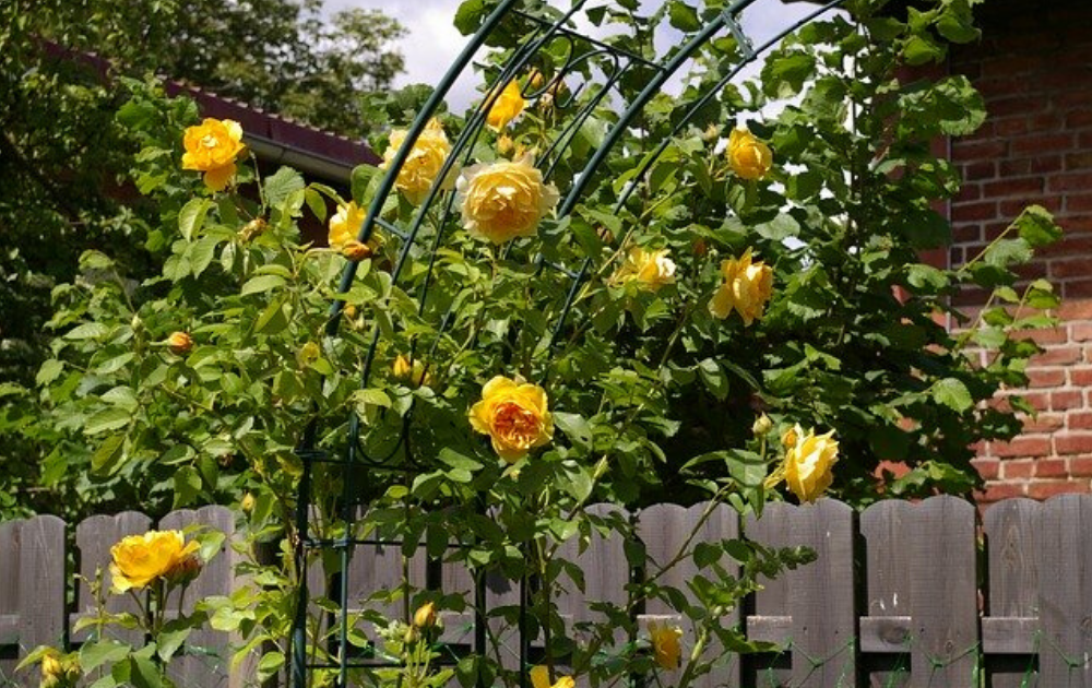 Yellow roses in the arch trellis