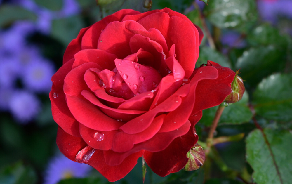 A single bud of a red English rose.