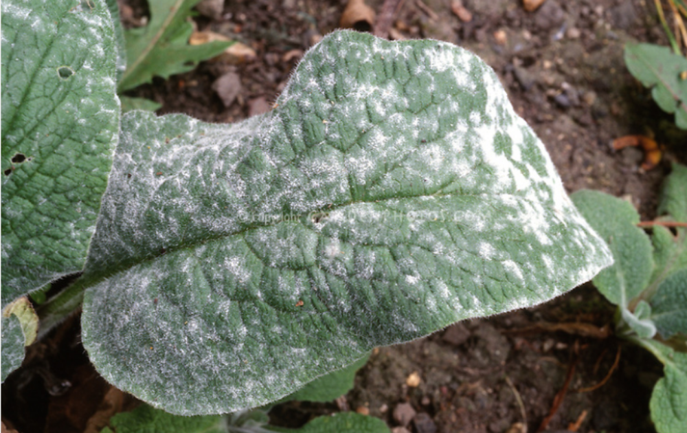 Powdery-mildew on the foxglove leaves.