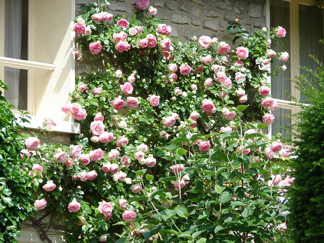 Climbing pink roses on a wall.