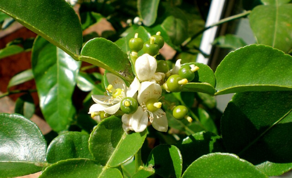 A cluster of citrus blooms setting to fruit.