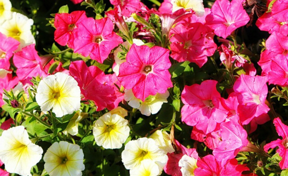 Wave petunias in bloom with white and pink flowers.