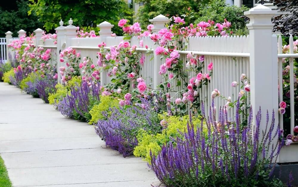 A white picket fence with pink climbing roses and lavender plants on the outside border.