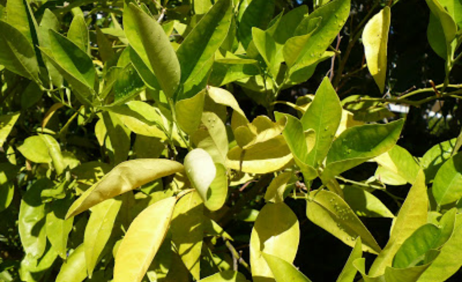 Citrus leaves grown in a container turning yellow.