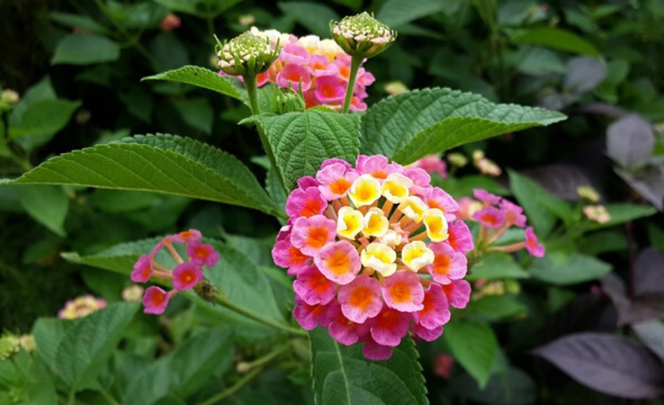 A cluster of yellow and pink lantana.