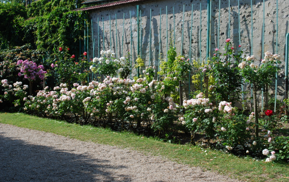 A walled garden of white and pink roses with green painted trellises.