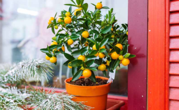 A potted dwarf citrus plant positioned near the windowsill.