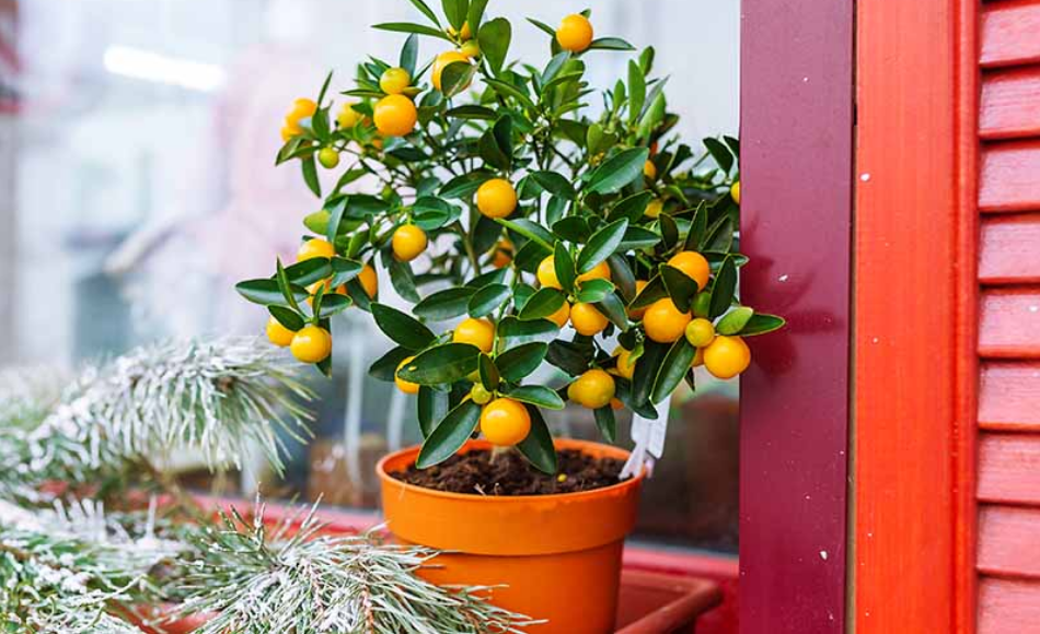 8 Steps To Grow Citrus Trees in Pots | Seasonal Preferences