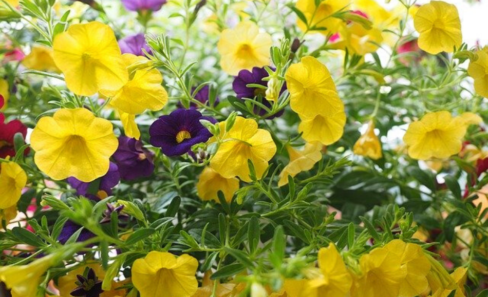 Yellow and purple million bells in bloom.