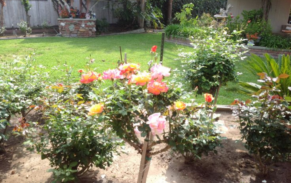 Six stems of roses planted in the garden with pink, yellow and orange flowers.