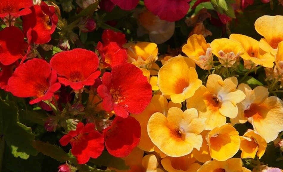 Yellow and red flowers of Nemesia.