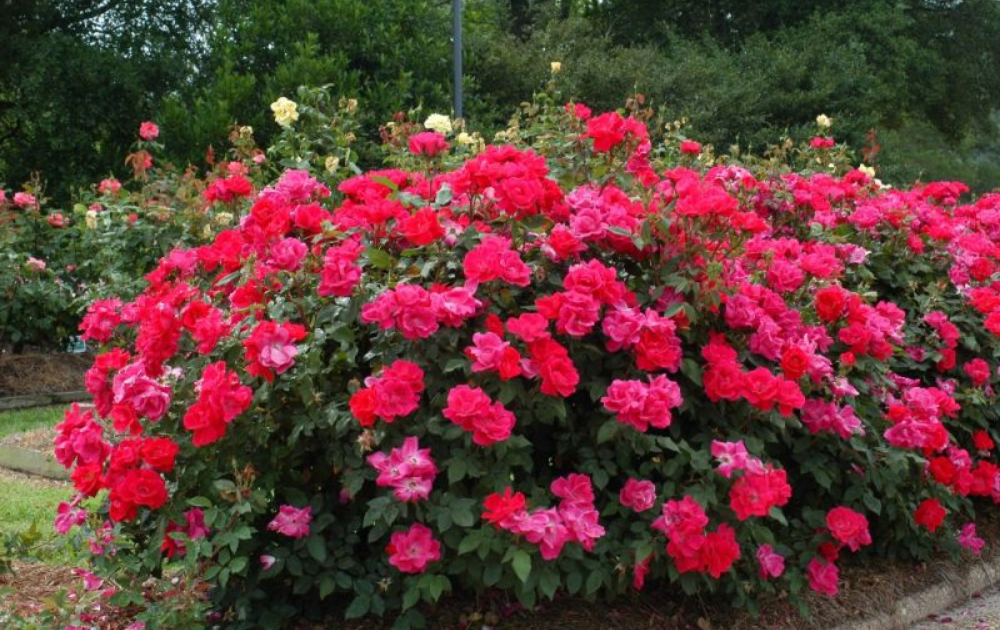 Blooming red roses in a raised bed garden.