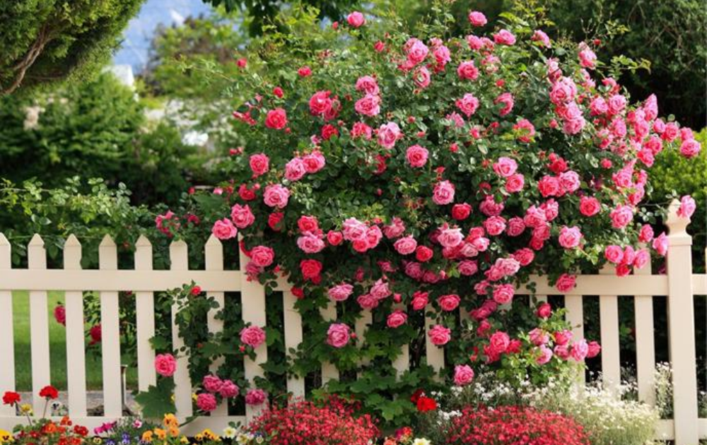 Massive blooms of pink climbing roses within a white picket fence.