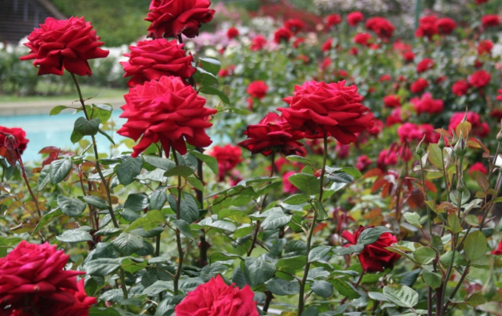 A garden of red blooming roses.