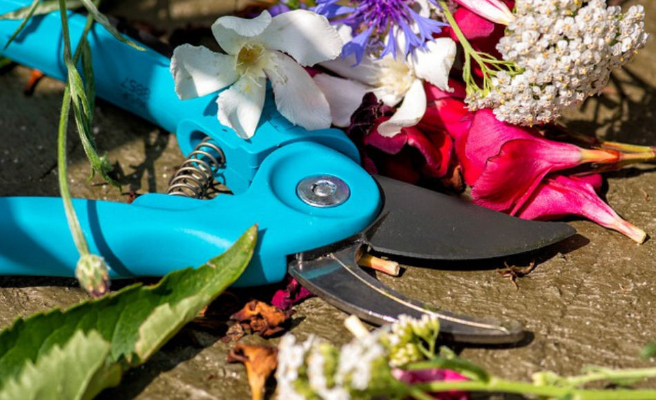 Blue pruning shears along with various spent flowers on the ground.
