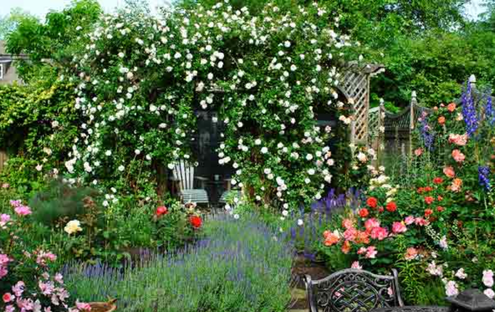 Rustic wooden chair tucked under unpruned white climbing roses within a wooden pergola.