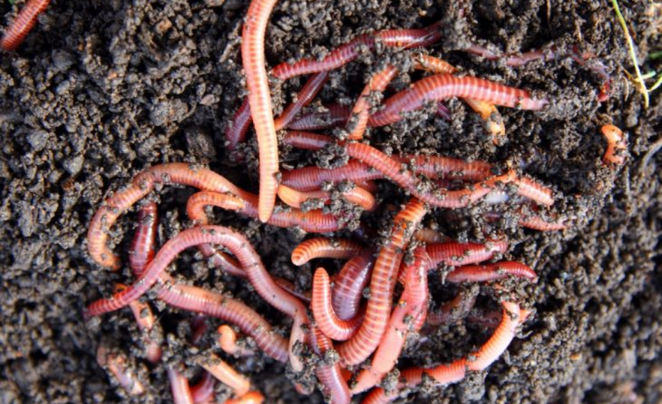 Pack of worms in the soil.
