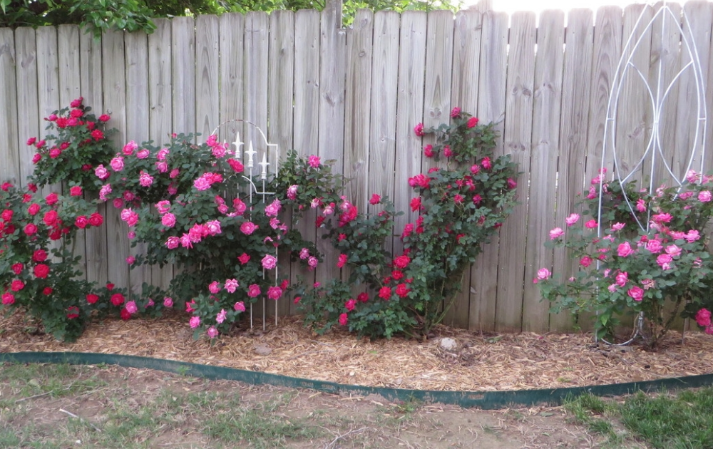 Pink and red climbing roses with white painted trellises at the side-yard garden.