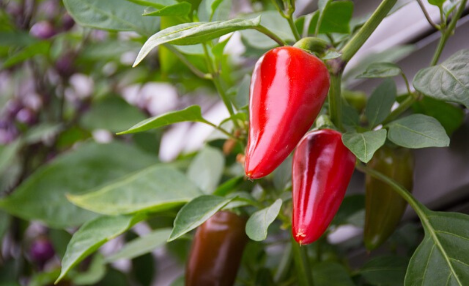Four red peppers ready to harvest.